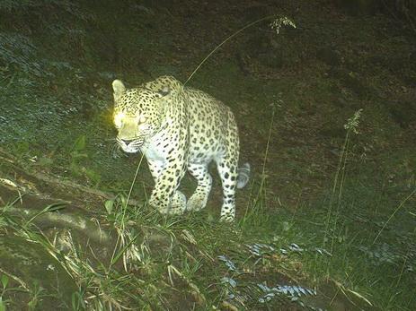 Переднеазиатский леопард — гордость Кавказа