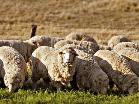 Овцеводство: реалии и перспективы