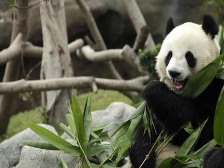 Большую панду исключили изсписка вымирающих видов