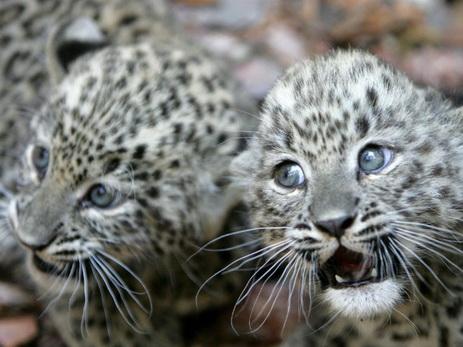 Nat Geo Wild покажет документальный фильм о редком кавказском леопарде - ВИДЕО