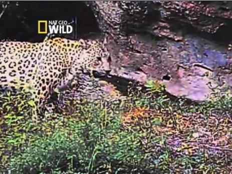 Nat Geo Wild доказал обитание в Азербайджане редкого переднеазиатского леопарда – ФОТО – ВИДЕО