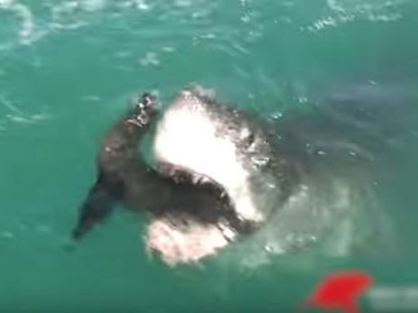 ВЮАР акула съела тюленя наглазах утуристов