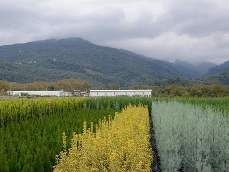 Турция поставит в Азербайджан саженцы лиственницы