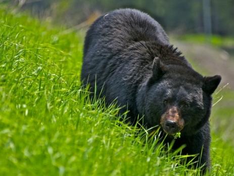 ВСША медведь выбежал наполе для гольфа, прервав игру