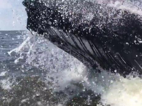 ВСША рыбаков напугал горбатый кит