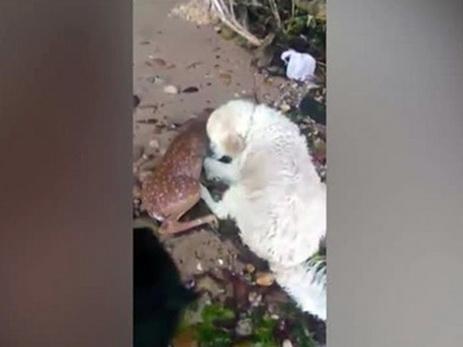 ВНью-Йорке собачка спасла тонущего олененка