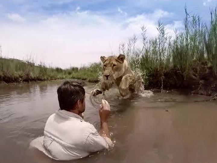 Так львица встречает человека, который когда-то спас её от голодной смерти - ВИДЕО