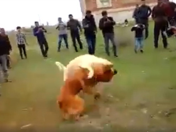 Собачьи бои: почему в Азербайджане процветает бизнес, построенный на крови животных? - ВИДЕО
