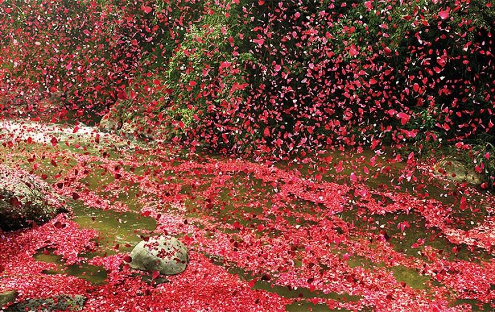 опавшие розы фото смысле